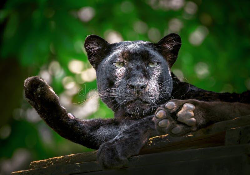 Ο πάνθηρας ή η λεοπάρδαλη στηρίζεται στο φυσικό στοκ εικόνα με δικαίωμα ελεύθερης χρήσης