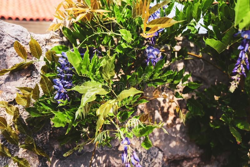 Ο πέτρινος τοίχος κάλυψε τον πράσινο θάμνο με τα λουλούδια στοκ εικόνες με δικαίωμα ελεύθερης χρήσης