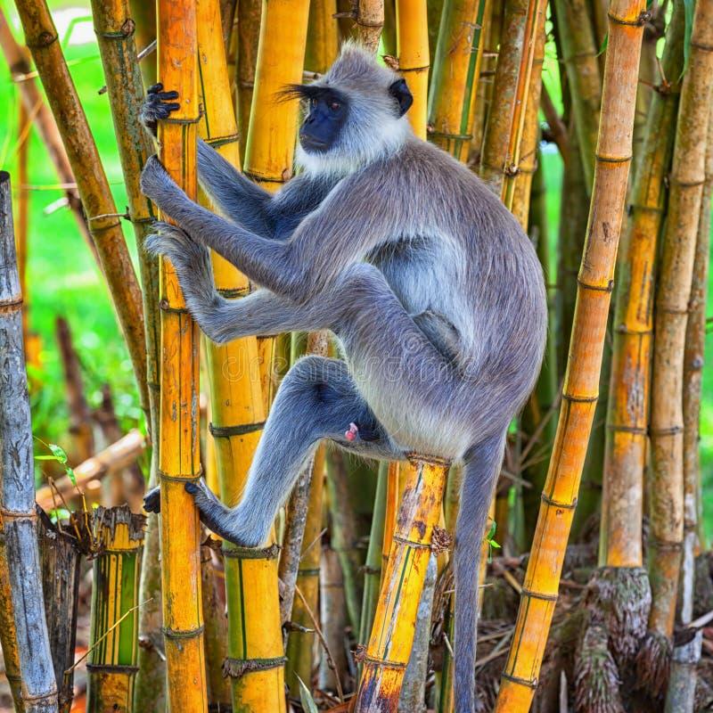 Ο πίθηκος αναρριχείται σε ένα δέντρο Σρι Λάνκα στοκ εικόνα με δικαίωμα ελεύθερης χρήσης