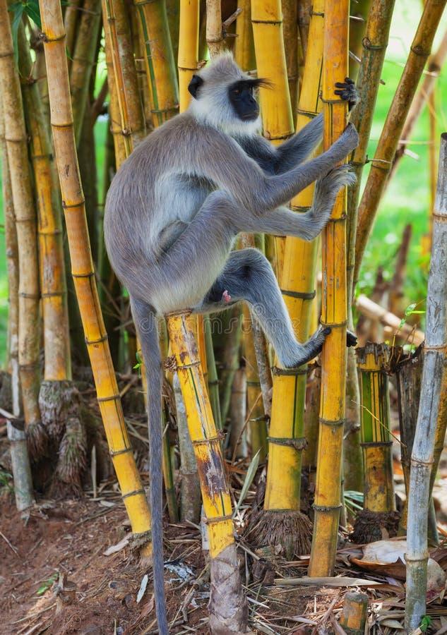 Ο πίθηκος αναρριχείται σε ένα δέντρο Σρι Λάνκα στοκ φωτογραφίες