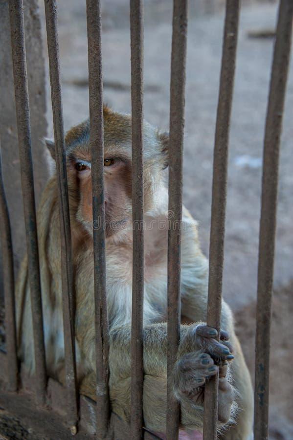 Ο πίθηκος κάθεται πίσω από το κλουβί στοκ φωτογραφία