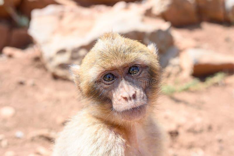Ο πίθηκος κάθεται στους βράχους και εξετάζει κάποιο στοκ εικόνες
