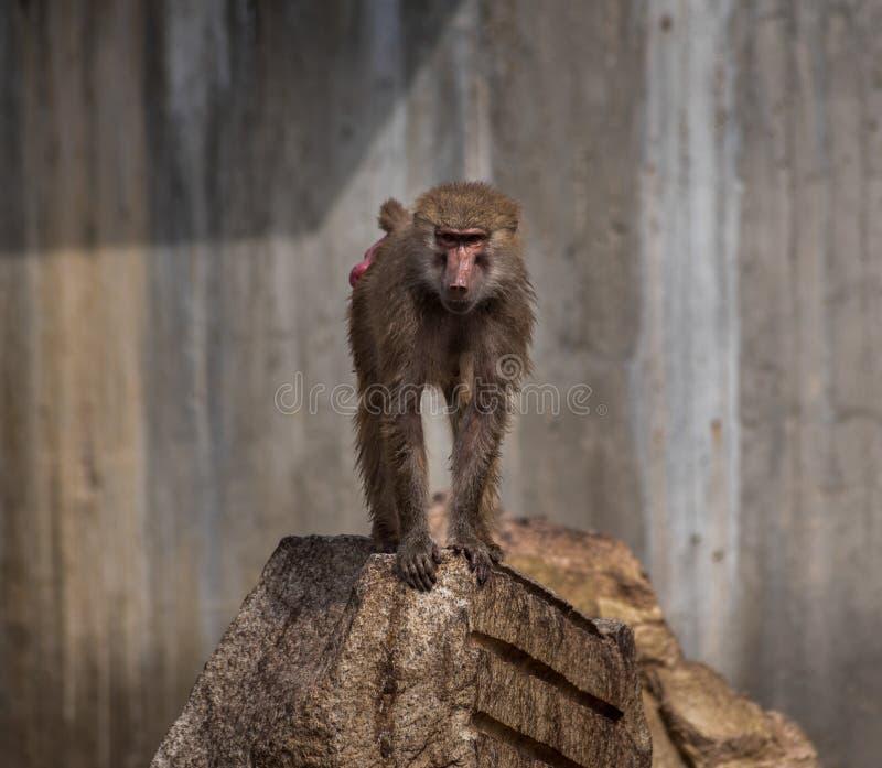 Ο πίθηκος στοκ εικόνα με δικαίωμα ελεύθερης χρήσης