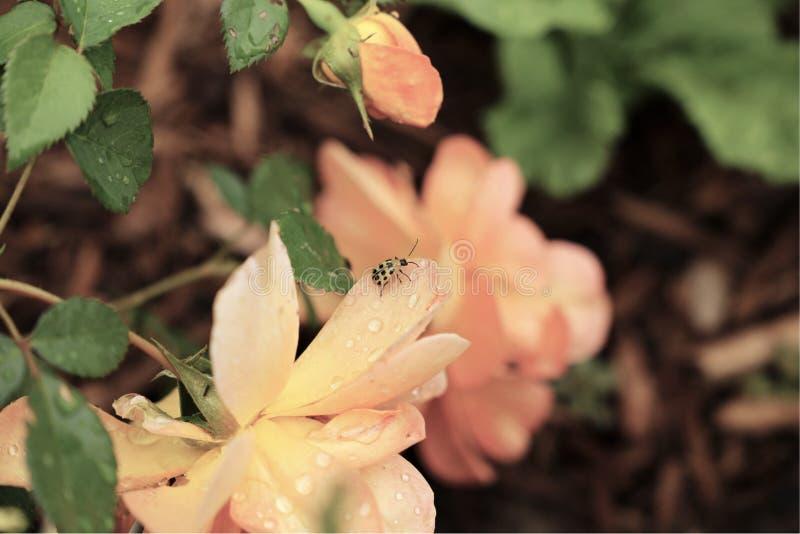 Ο παλαιός αγγλικός κήπος ροδάκινων αυξήθηκε με τον κίτρινο κάνθαρο στοκ φωτογραφίες