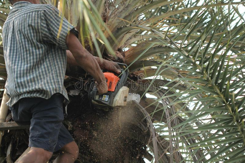 Ο παλαιός ισχυρός κηπουρός ατόμων χρησιμοποιεί ένα βαρέων καθηκόντων αλυσιδοπρίονο τακτοποιώντας και κόβοντας τους μεγάλους φοίνι στοκ φωτογραφία