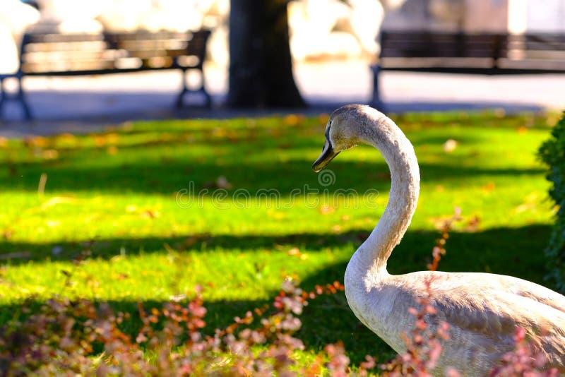 Ο πανέμορφος γκρίζος Κύκνος, που περπατά στην πόλη στοκ φωτογραφία