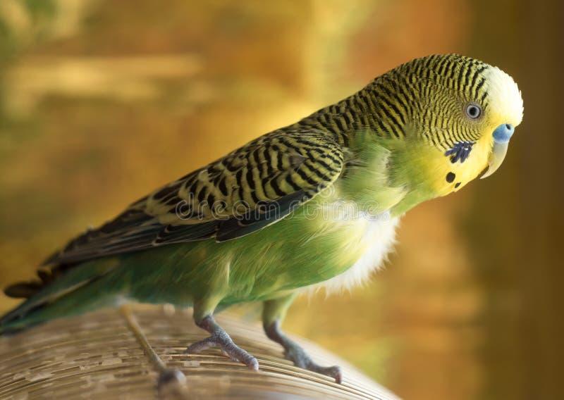 Ο παπαγάλος κάθεται στο κλουβί Πράσινος budgerigar στενός επάνω παπαγάλων κάθεται στο ασβέστιο στοκ φωτογραφίες