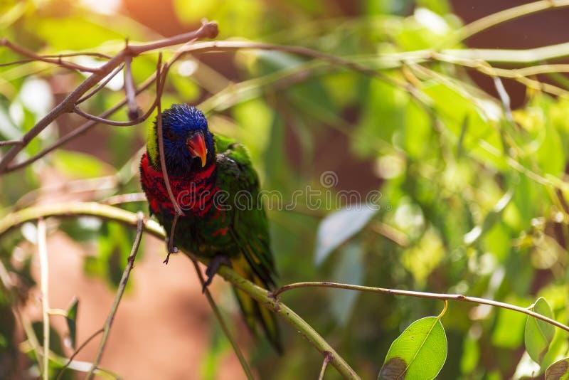 Ο παπαγάλος Lori Loriinae κάθεται σε έναν κλάδο σε ένα κλουβί για τους παπαγάλους στο ζωολογικό κήπο στοκ φωτογραφία με δικαίωμα ελεύθερης χρήσης