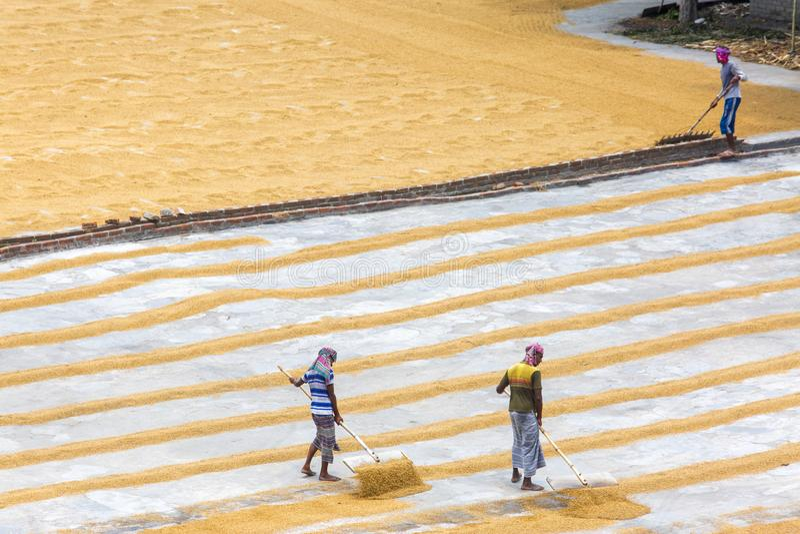 Ο παραδοσιακός εργαζόμενος μύλων ρυζιού αναποδογυρίζει τον ορυζώνα για την ξήρανση στοκ εικόνα