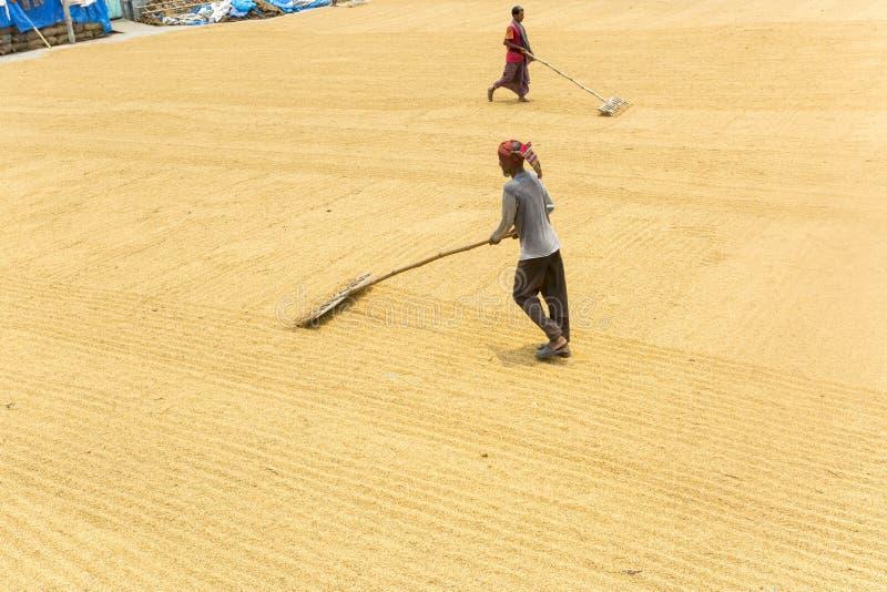 Ο παραδοσιακός εργαζόμενος μύλων ρυζιού αναποδογυρίζει τον ορυζώνα για την ξήρανση στοκ εικόνες με δικαίωμα ελεύθερης χρήσης