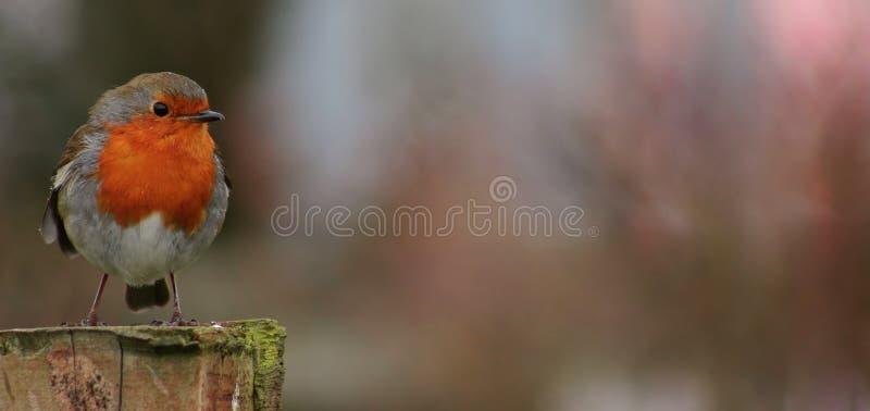 ο παχύς Robin στοκ εικόνες με δικαίωμα ελεύθερης χρήσης