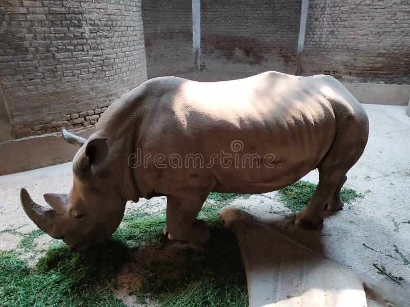 Ο πεινασμένος ρινόκερος που μοιάζει με άγαλμα στοκ εικόνες με δικαίωμα ελεύθερης χρήσης