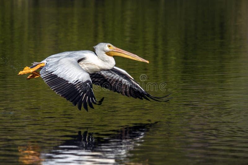Ο Πελικάνος πετάει στη λίμνη Λα Πα στοκ φωτογραφία