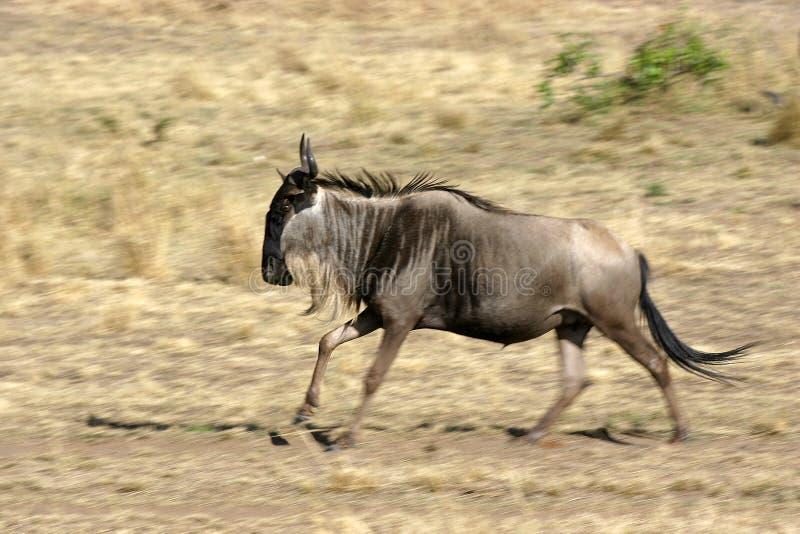 ο πιό wildebeest στοκ φωτογραφία με δικαίωμα ελεύθερης χρήσης