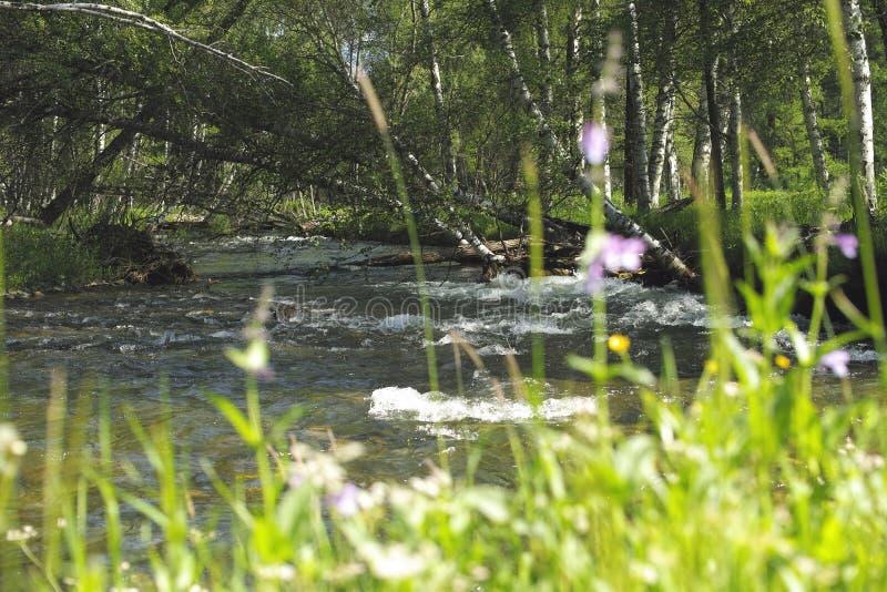 Ο ποταμός Karakol βουνών Ο ρόλος Δέντρα σημύδων στοκ φωτογραφίες
