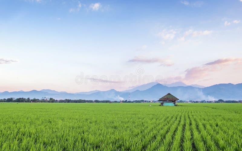 Ο πολύ απέραντος, ευρύς, εκτενής, ευρύχωρος τομέας ρυζιού, στον ορίζοντα στοκ φωτογραφία