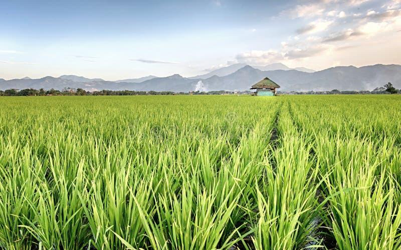 Ο πολύ απέραντος, ευρύς, εκτενής, ευρύχωρος τομέας ρυζιού, στον ορίζοντα στοκ εικόνες