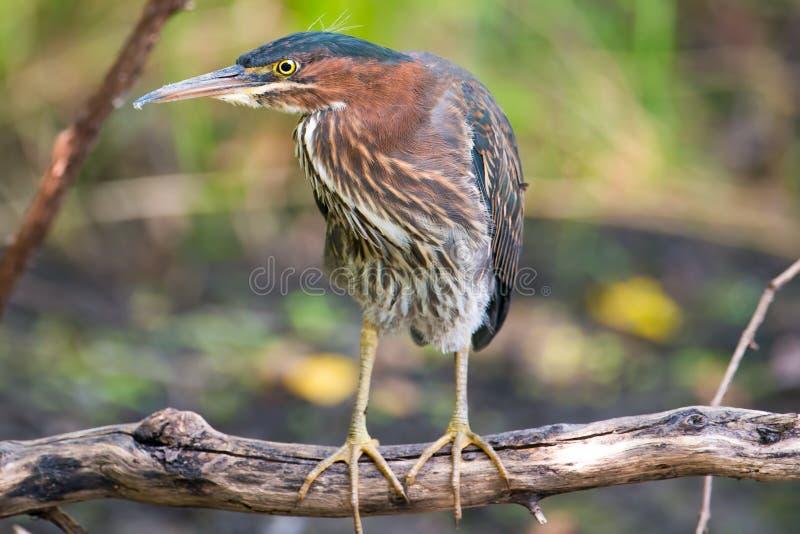 Ο πράσινος ερωδιός εσκαρφάλωσε σε έναν πεσμένο κλάδο δέντρων στην επιφυλακή - στην κοίτη πλημμυρών ποταμών Μινεσότας στα εθνικά W στοκ φωτογραφίες με δικαίωμα ελεύθερης χρήσης