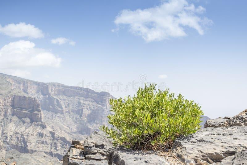 Ο πράσινος θάμνος Jebel υποκρίνεται στοκ φωτογραφίες