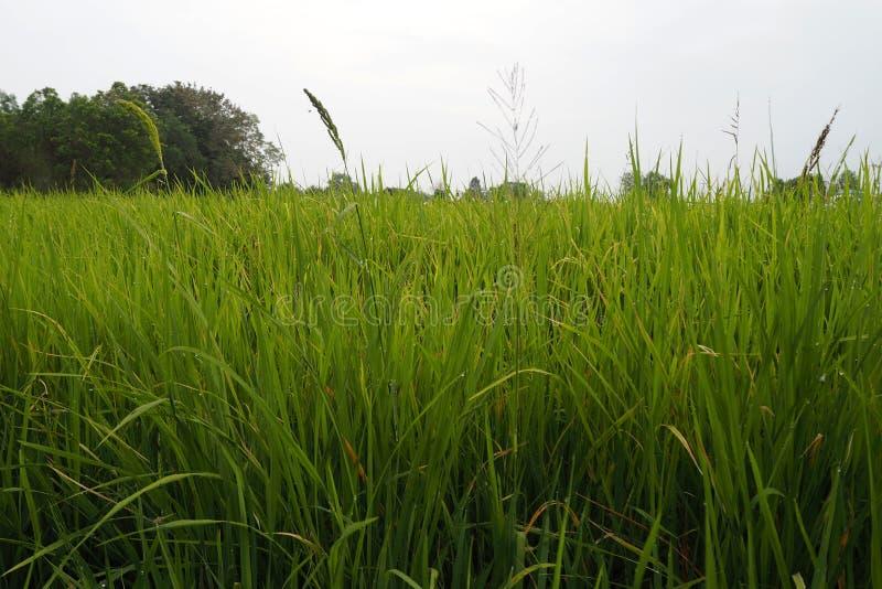 Ο πράσινος τομέας ρυζιού φαίνεται συμπαθητικός και beautyful στοκ φωτογραφία
