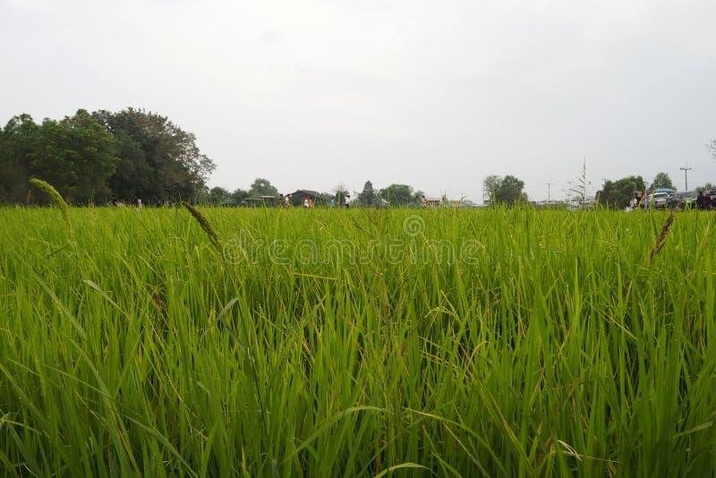 Ο πράσινος τομέας ρυζιού φαίνεται συμπαθητικός και beautyful στοκ εικόνα με δικαίωμα ελεύθερης χρήσης