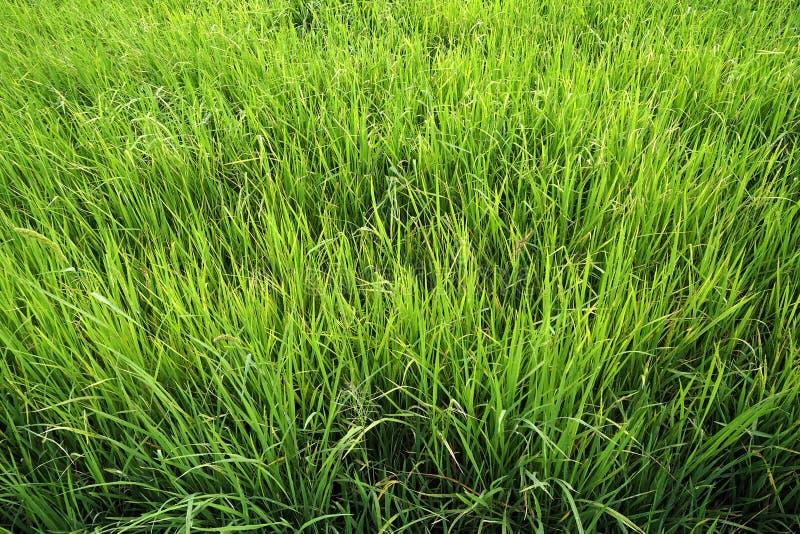 Ο πράσινος τομέας ρυζιού φαίνεται συμπαθητικός και beautyful στοκ φωτογραφίες με δικαίωμα ελεύθερης χρήσης