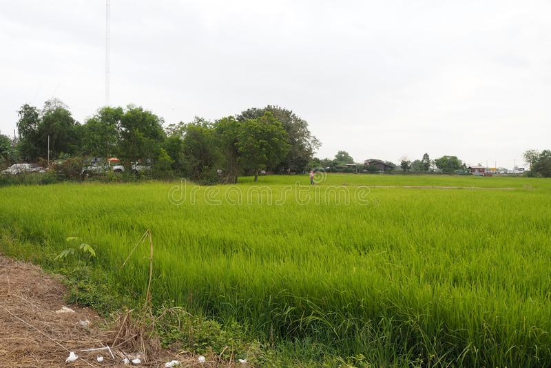 ο πράσινος τομέας ρυζιού φαίνεται τόσο συμπαθητικός και beautyful στοκ εικόνες