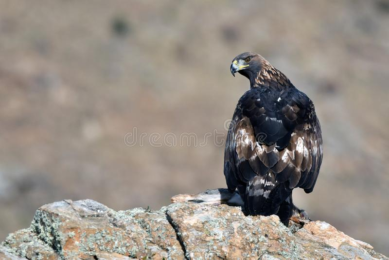 Ο πραγματικός αετός παρατηρεί από τον ξενοδόχο του στοκ εικόνα