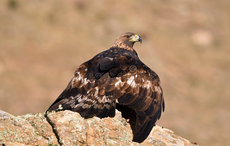 Ο πραγματικός αετός παρατηρεί από τον ξενοδόχο του στοκ φωτογραφία με δικαίωμα ελεύθερης χρήσης