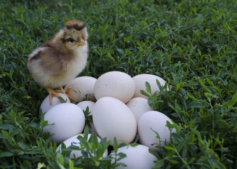 Ο πρώτος εκκολαμμένος νεοσσός κάθεται στα αυγά στοκ εικόνα με δικαίωμα ελεύθερης χρήσης