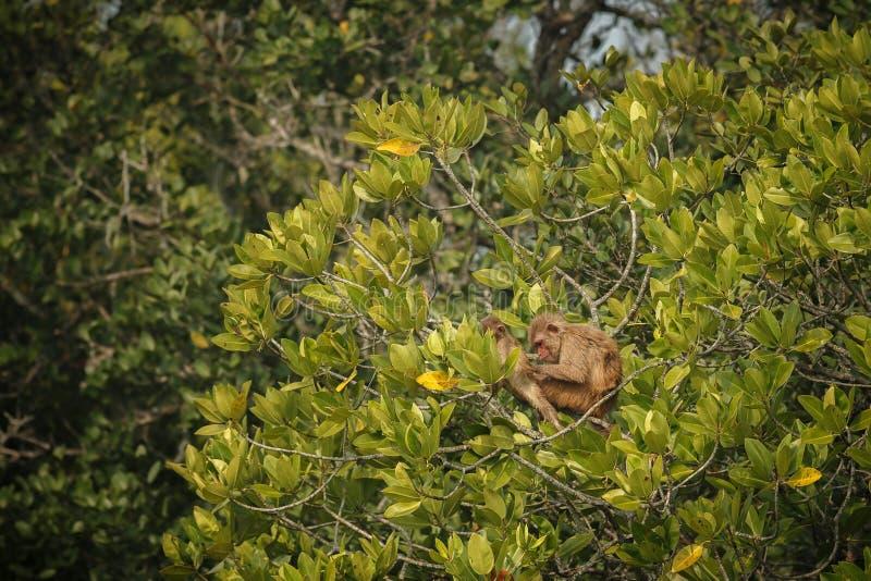 Ο ρήσος μακάκος Macaque με το μωρό σε ένα δέντρο σε ινδικό Sundarbans στοκ εικόνες με δικαίωμα ελεύθερης χρήσης