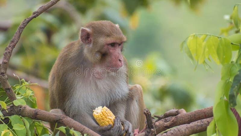 Ο ρήσος μακάκος macaque που κοιτάζει επίμονα στοκ εικόνες με δικαίωμα ελεύθερης χρήσης
