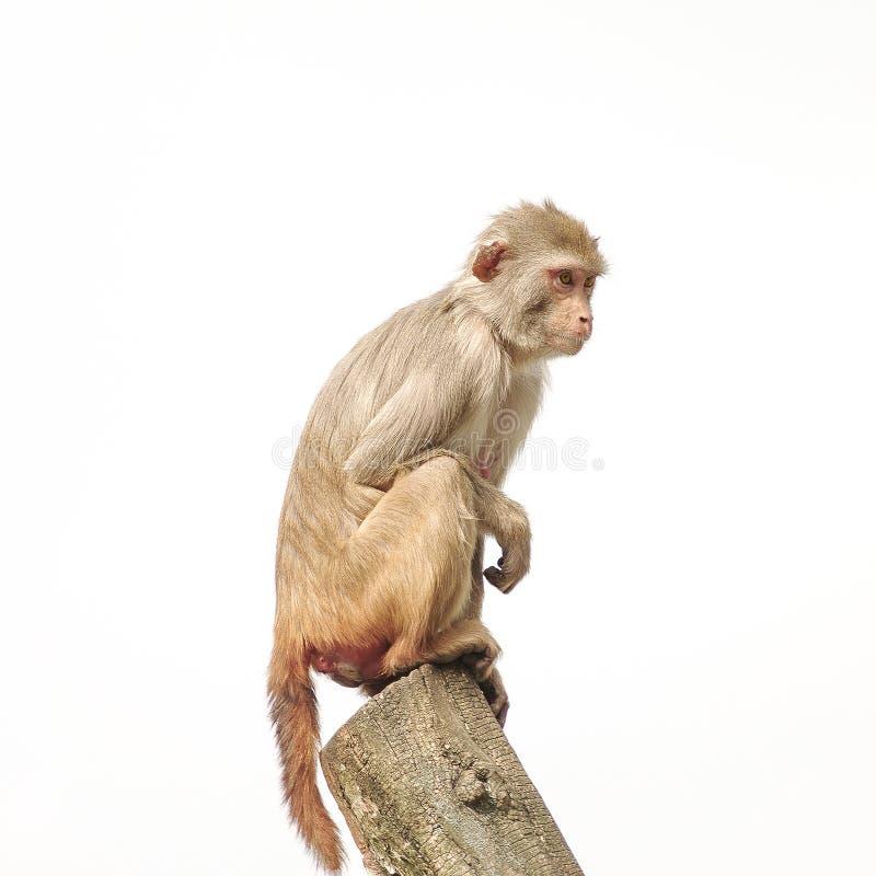 Ο ρήσος μακάκος macaque στην κινηματογράφηση σε πρώτο πλάνο της φυσικής συμπεριφοράς, που απομονώνεται κατά τη διάρκεια στοκ εικόνα