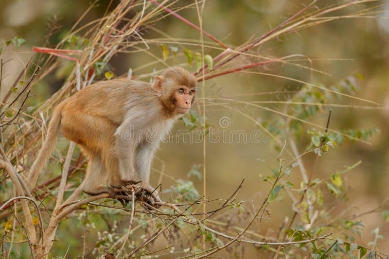 Ο ρήσος μακάκος Macaque στον τοίχο με το όμορφο μουτζουρωμένο υπόβαθρο στοκ εικόνα με δικαίωμα ελεύθερης χρήσης