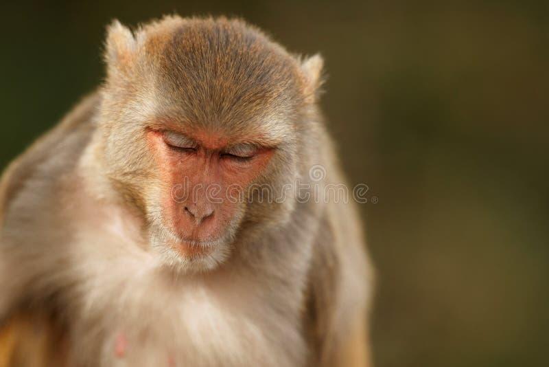 Ο ρήσος μακάκος Macaque στον τοίχο με το όμορφο μουτζουρωμένο υπόβαθρο στοκ φωτογραφία με δικαίωμα ελεύθερης χρήσης