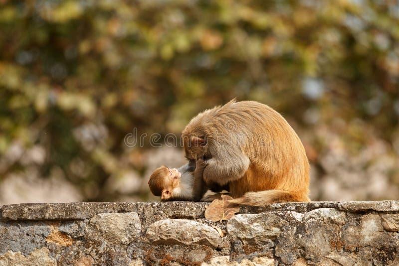 Ο ρήσος μακάκος Macaque στον τοίχο με το όμορφο μουτζουρωμένο υπόβαθρο στοκ εικόνες