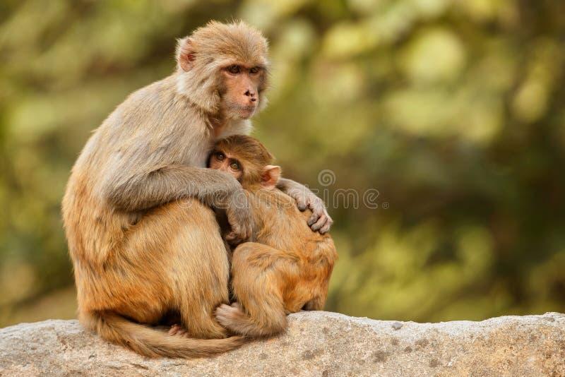Ο ρήσος μακάκος Macaque στον τοίχο με το όμορφο μουτζουρωμένο υπόβαθρο στοκ φωτογραφίες