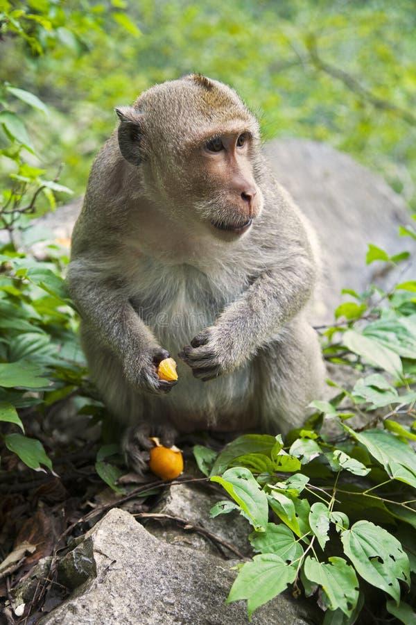 Ο ρήσος μακάκος Macaque τα πιό γνωστά είδη πιθήκων Παλαιών Κόσμων στοκ φωτογραφία