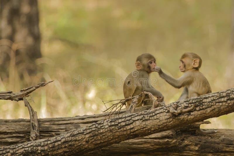 Ο ρήσος μακάκος Macaques μωρών που μοιράζεται τα τρόφιμα στοκ εικόνες