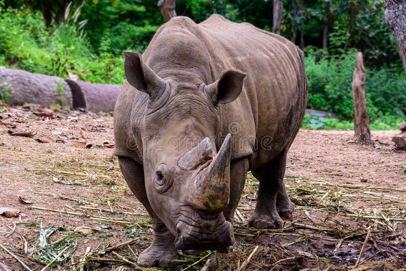 Ο ρινόκερος είναι ένα μεγάλο θηλαστικό στοκ εικόνες