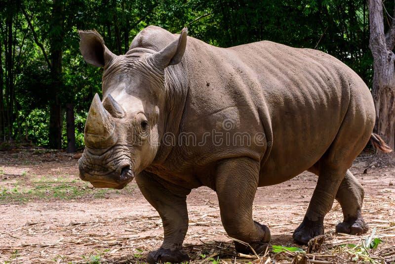 Ο ρινόκερος είναι ένα μεγάλο θηλαστικό στοκ φωτογραφία