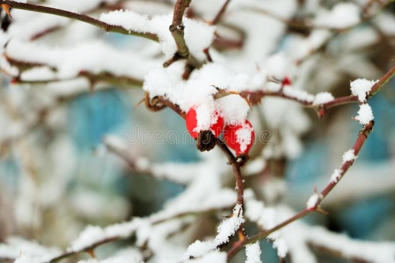 Ο ρωσικός χειμώνας, σκυλί αυξήθηκε στοκ φωτογραφία με δικαίωμα ελεύθερης χρήσης