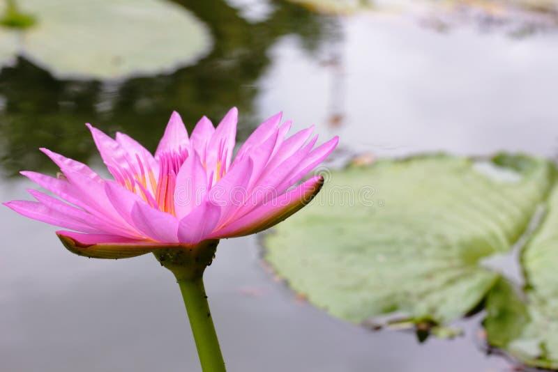 Ο ρόδινος λωτός ανθίζει και το φύλλο λωτού με πράσινο στο νερό στοκ εικόνες