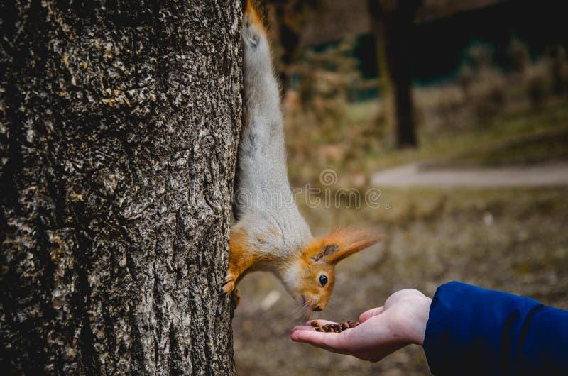 Ο σκίουρος κάθεται σε ένα δέντρο και τρώει τους σπόρους από το φοίνικα ενός κοριτσιού στα ξύλα στοκ εικόνα