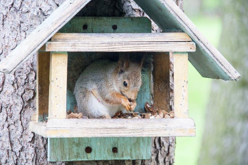 Ο σκίουρος ροκανίζει τα καρύδια στοκ φωτογραφία με δικαίωμα ελεύθερης χρήσης