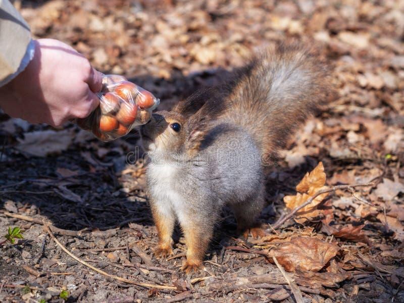Ο σκίουρος στο φύλλωμα φθινοπώρου παίρνει τα καρύδια από τα χέρια της γυναίκας στοκ εικόνες με δικαίωμα ελεύθερης χρήσης