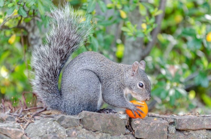 Ο σκίουρος τρώει τα φρούτα στοκ εικόνα
