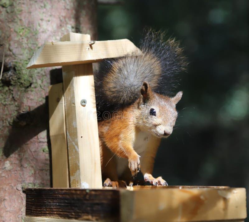 Ο σκίουρος τρώει τους σπόρους ηλίανθων στη γούρνα στοκ φωτογραφία με δικαίωμα ελεύθερης χρήσης