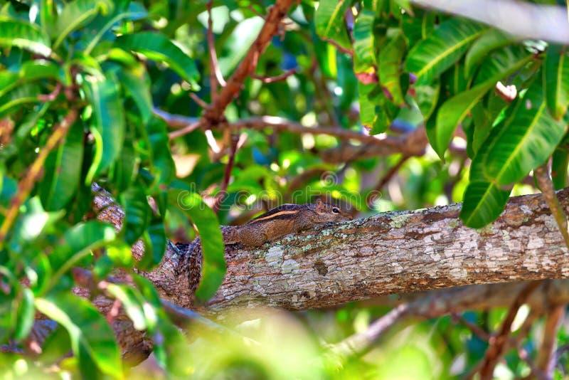 Ο σκίουρος, chipmunk λίγο, κάθεται σε έναν κλαδίσκο στο πράσινο δέντρο μάγκο στοκ φωτογραφία με δικαίωμα ελεύθερης χρήσης