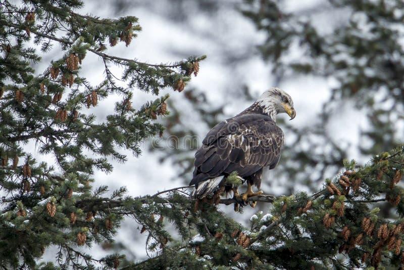 Ο σκαρφαλωμένος φαλακρός αετός ψάχνει τα τρόφιμα στοκ εικόνα